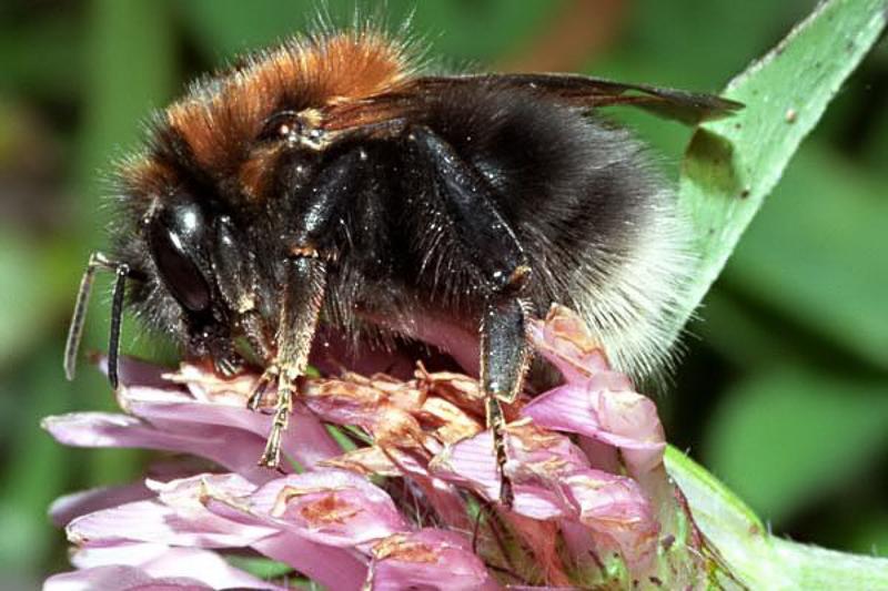 Bees : (Apidae) Bombus hypnorum