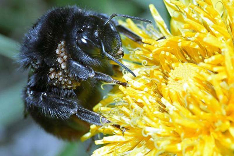 Bees : (Apidae) Bombus lapidarius