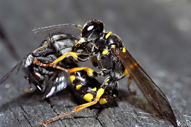 Aculeate Wasps : (Crabronidae) Mellinus arvensis