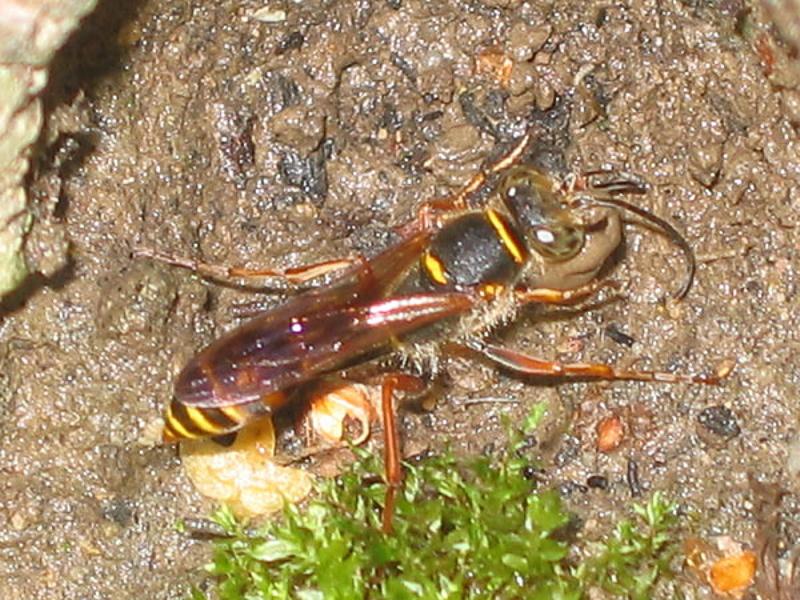 Aculeate Wasps : (Sphecidae) Sceliphron curvatum