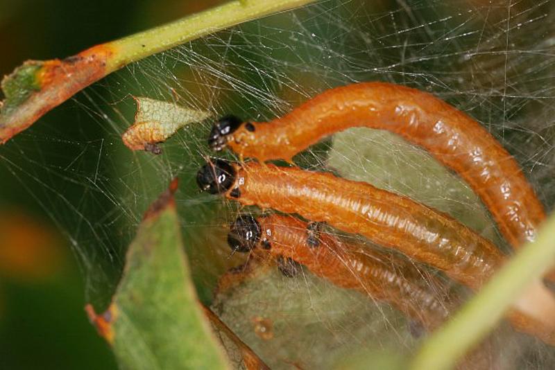 Sawflies and horntails : (Pamphiliidae) Neurotoma saltuum