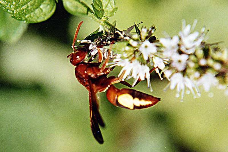 Aculeate Wasps : (Vespidae) Rhynchium oculatum