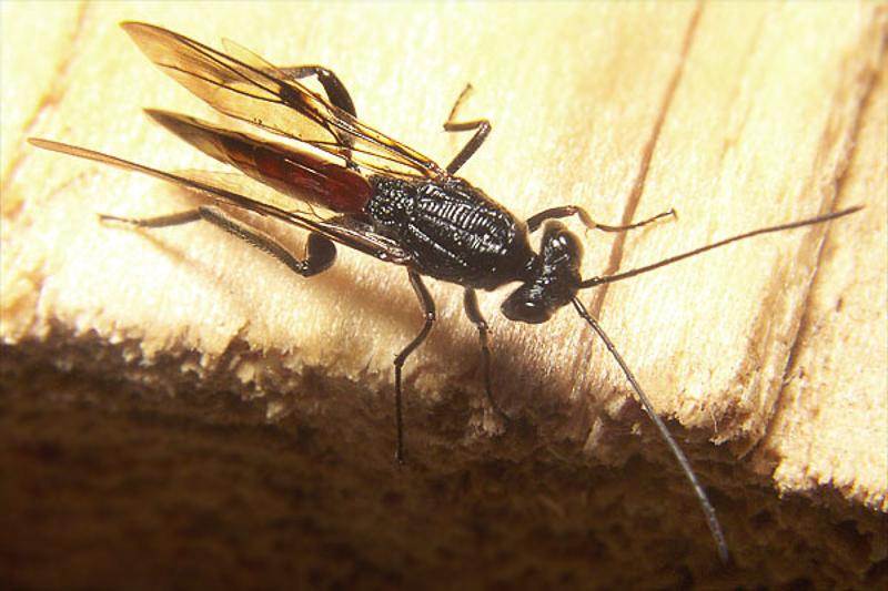 Other parasitoids : (Ibaliidae) Ibalia leucospoides
