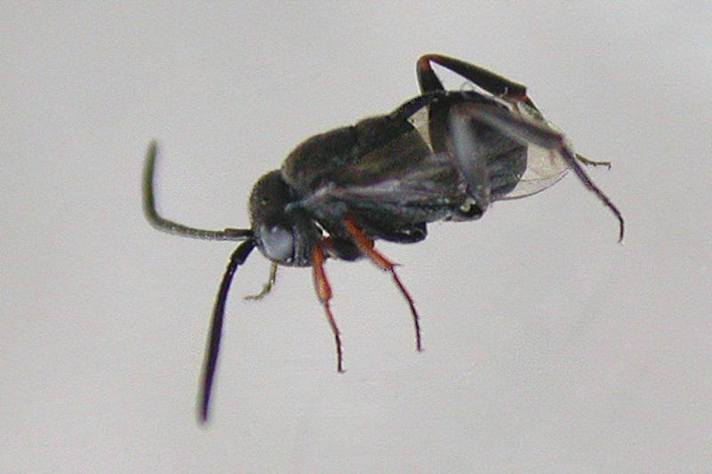 Other parasitoids : (Evaniidae) Brachygaster minutus