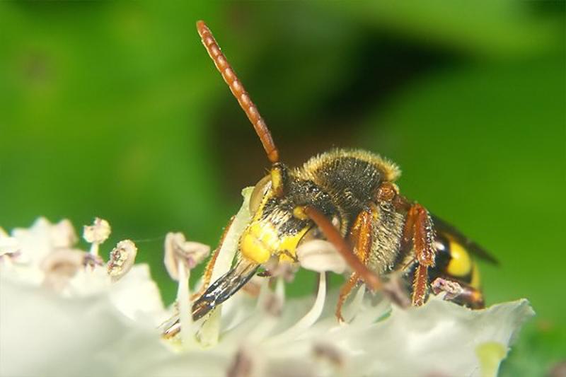 Bees : (Apidae) Nomada signata