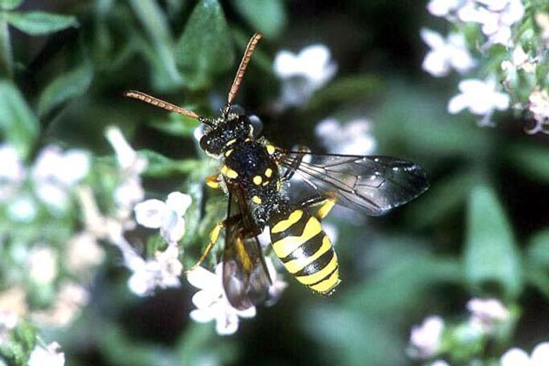 Bees : (Apidae) Nomada succincta