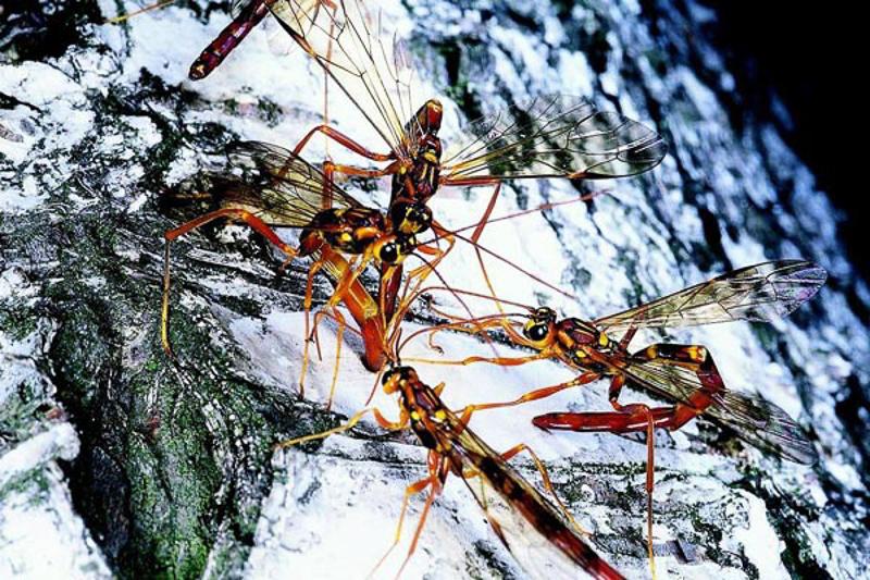 Ichneumonid and braconid wasps : (Ichneumonidae) Megarhyssa gigas