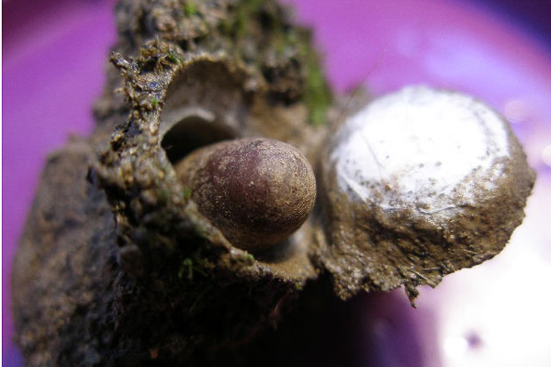 Aculeate Wasps : (Pompilidae) Entomobora plicata