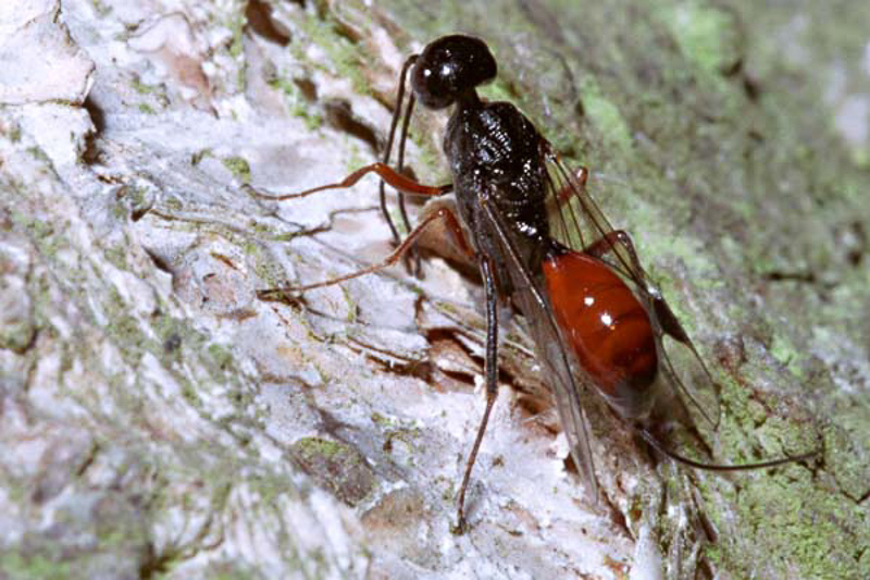 Other parasitoids : (Aulacidae) Aulacus striatus