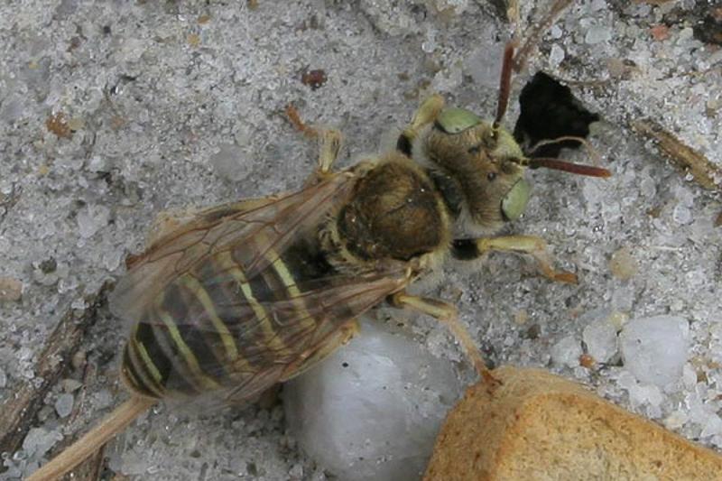 Bees : (Andrenidae) Camptopoeum friesei
