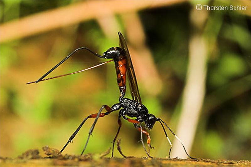 Ichneumonid and braconid wasps : (Ichneumonidae) Echthrus reluctator