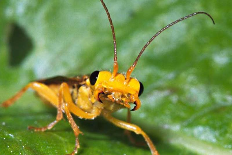 Sawflies and horntails : (Pamphiliidae) Pamphilius aurantiacus