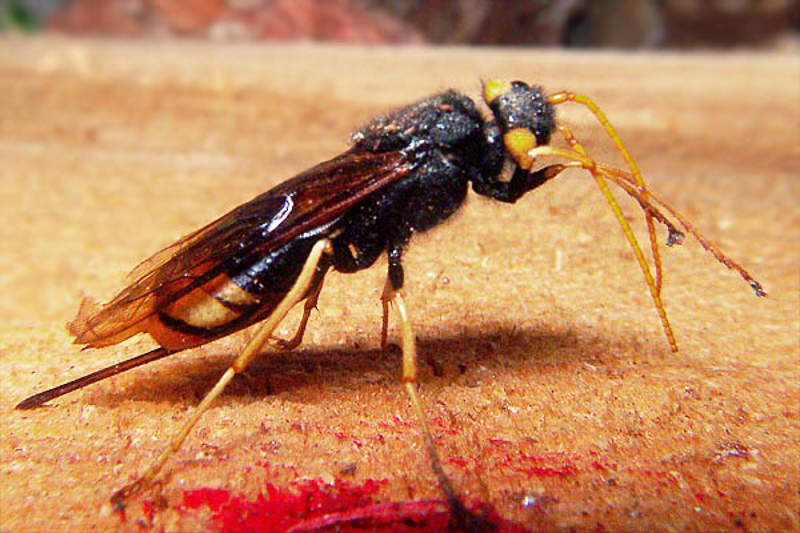 Sawflies and horntails : (Siricidae) Urocerus gigas