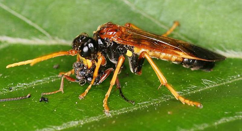 Sawflies and horntails : (Tenthredinidae) Tenthredo campestris