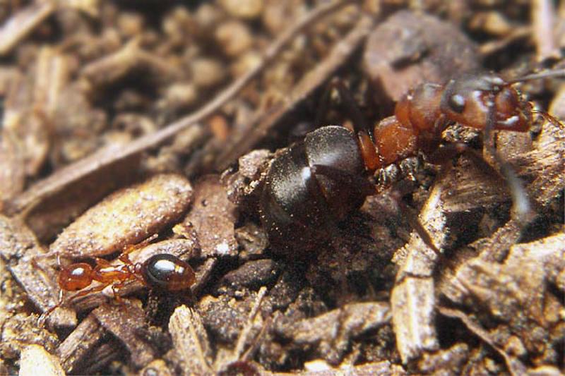 Ants : (Formicidae) Formicoxenus nitidulus