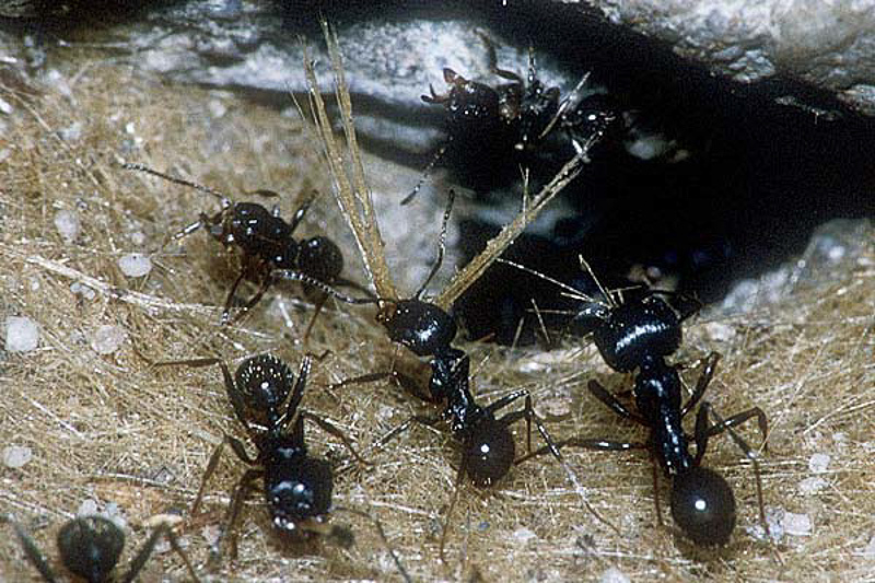 Ants : (Formicidae) Messor structor