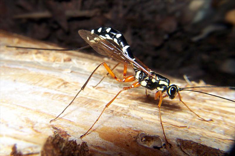 Ichneumonid and braconid wasps : (Ichneumonidae) Rhyssa persuasoria