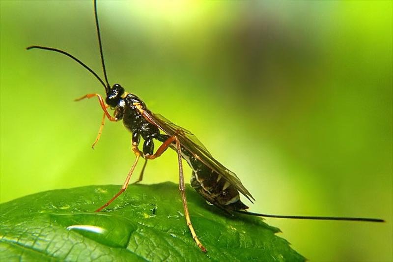 Ichneumonid and braconid wasps : (Ichneumonidae) Coleocentrus excitator