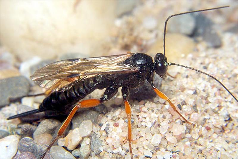 Ichneumonid and braconid wasps : (Ichneumonidae) Pimpla rufipes
