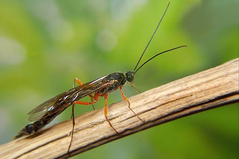 Ichneumonid and braconid wasps : (Ichneumonidae) Dolichomitus imperator