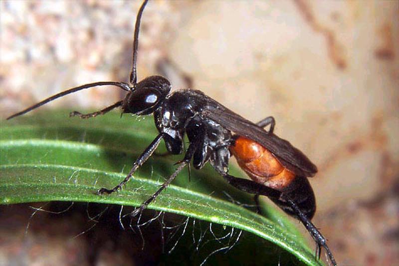 Aculeate Wasps : (Pompilidae) Arachnospila anceps