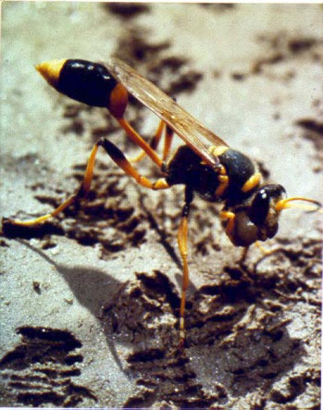 Aculeate Wasps : (Sphecidae) Sceliphron laetum