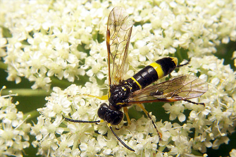 Sawflies and horntails : (Tenthredinidae) Tenthredo amoena