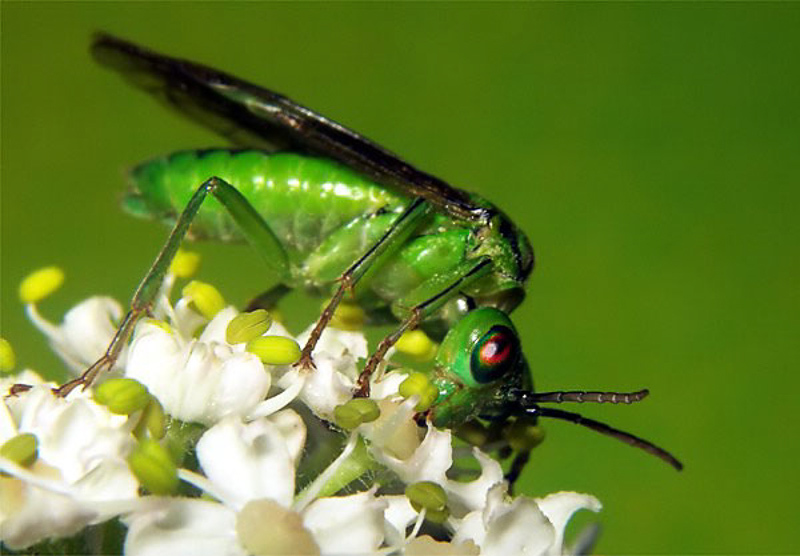 Sawflies and horntails : (Tenthredinidae) Tenthredo olivacea