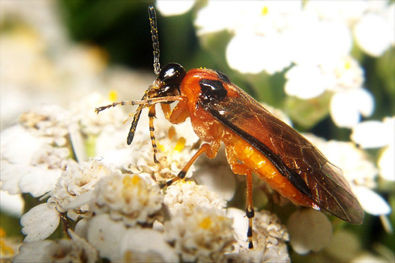 Sawflies and horntails : (Tenthredinidae) Athalia rosae
