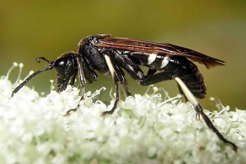 Sawflies and horntails : (Tenthredinidae) Tenthredo bifasciata