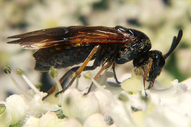 Sawflies and horntails : (Argidae) Arge ustulata