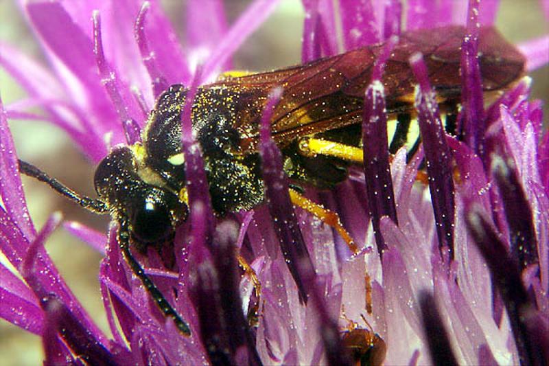 Sawflies and horntails : (Tenthredinidae) Tenthredo koehleri