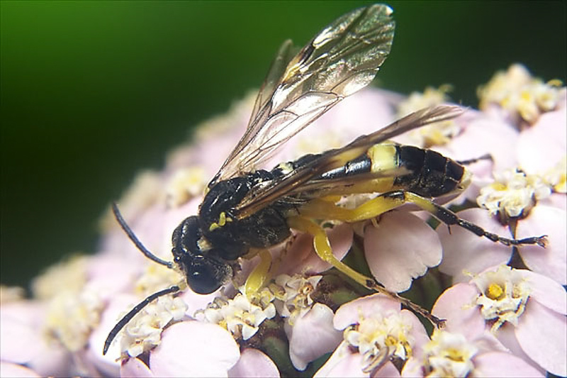 Sawflies and horntails : (Tenthredinidae) Tenthredo zonula