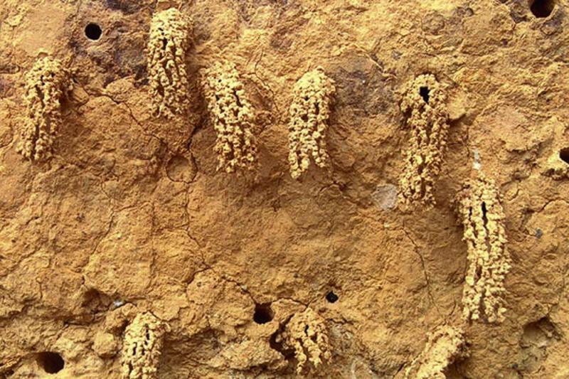 Aculeate Wasps : (Vespidae) Odynerus spinipes