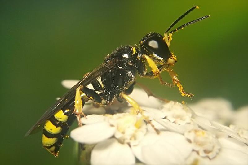 Aculeate Wasps : (Crabronidae) Crossocerus binotatus