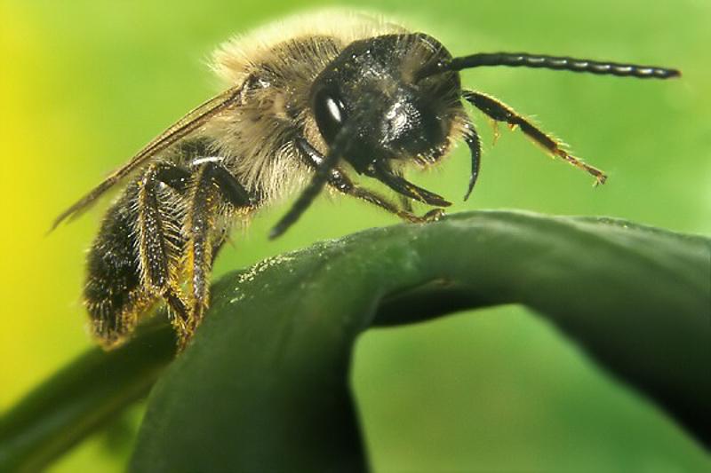 Bees : (Andrenidae) Andrena carantonica
