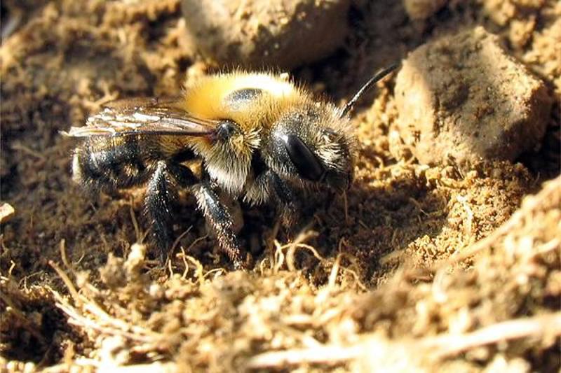 Bees : (Megachilidae) Osmia nigriventris