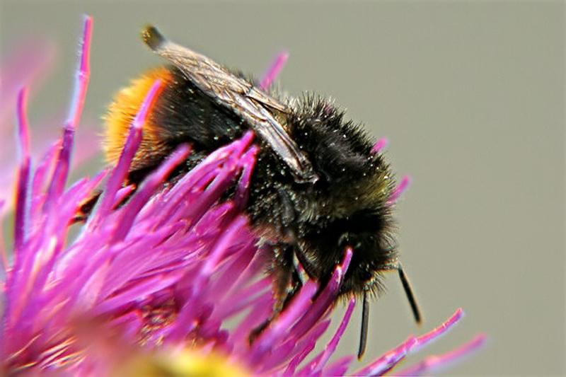 Bees : (Apidae) Bombus soroeensis