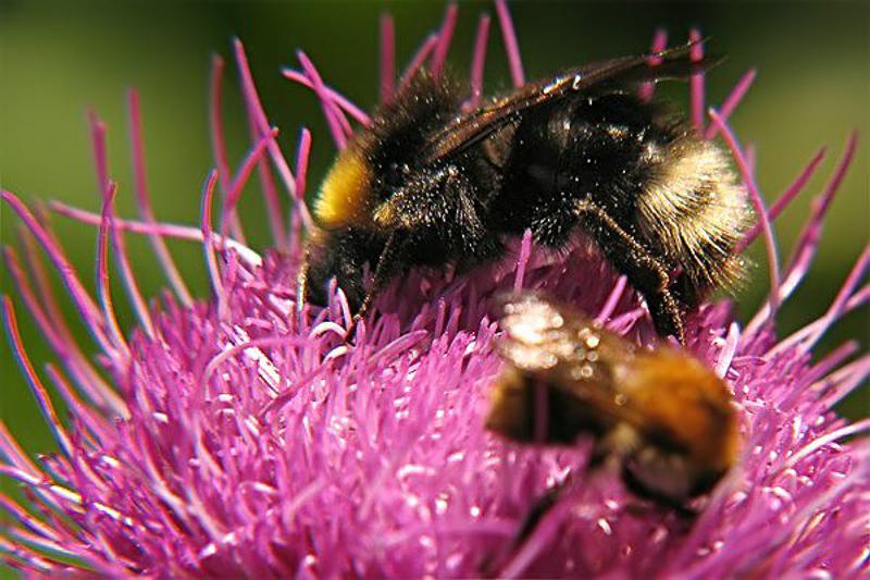 Bees : (Apidae) Bombus flavidus