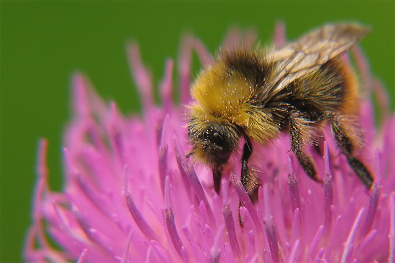 Bees : (Apidae) Bombus pyrenaeus
