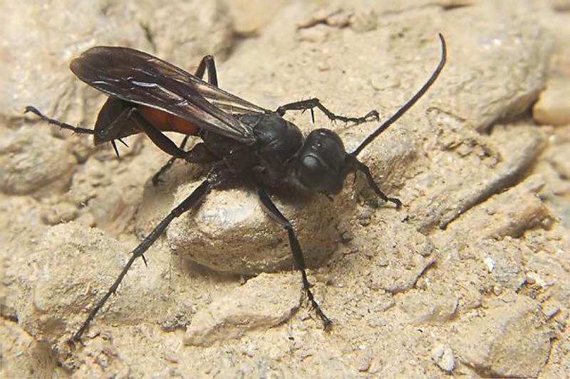 Aculeate Wasps : (Pompilidae) Arachnospila colpostoma