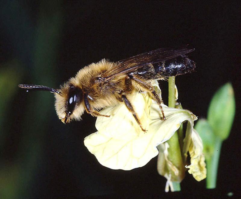 Bees : (Andrenidae) Andrena suerinensis