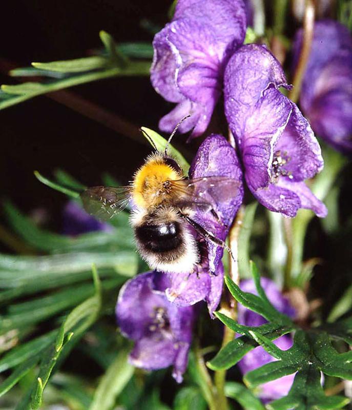 Bees : (Apidae) Bombus gerstaeckeri