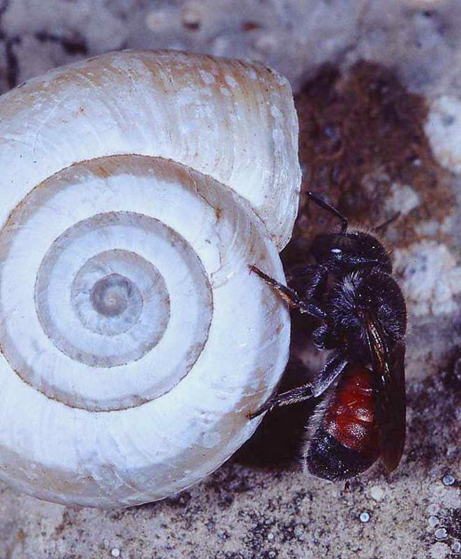 Bees : (Megachilidae) Osmia andrenoides