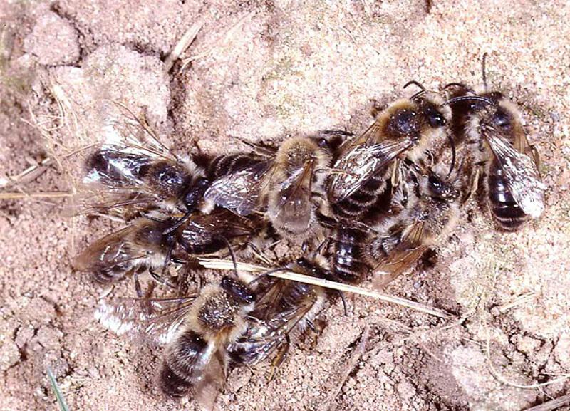 Bees : (Colletidae) Colletes cunicularius