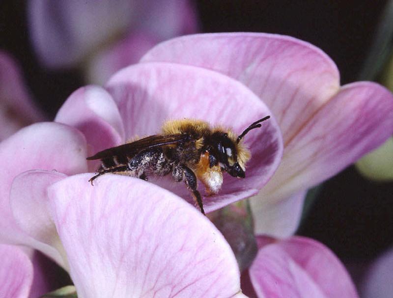 Bees : (Megachilidae) Megachile willughbiella