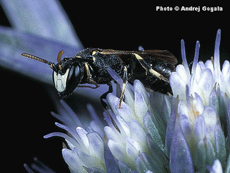 Bees : (Colletidae) Hylaeus imparilis