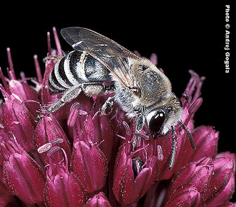 Bees : (Colletidae) Colletes carinatus