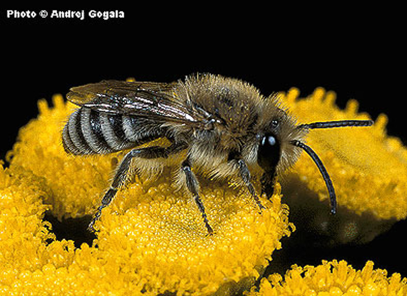 Bees : (Colletidae) Colletes fodiens