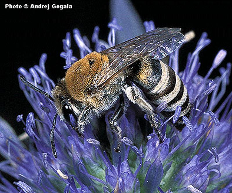 Bees : (Colletidae) Colletes hylaeiformis